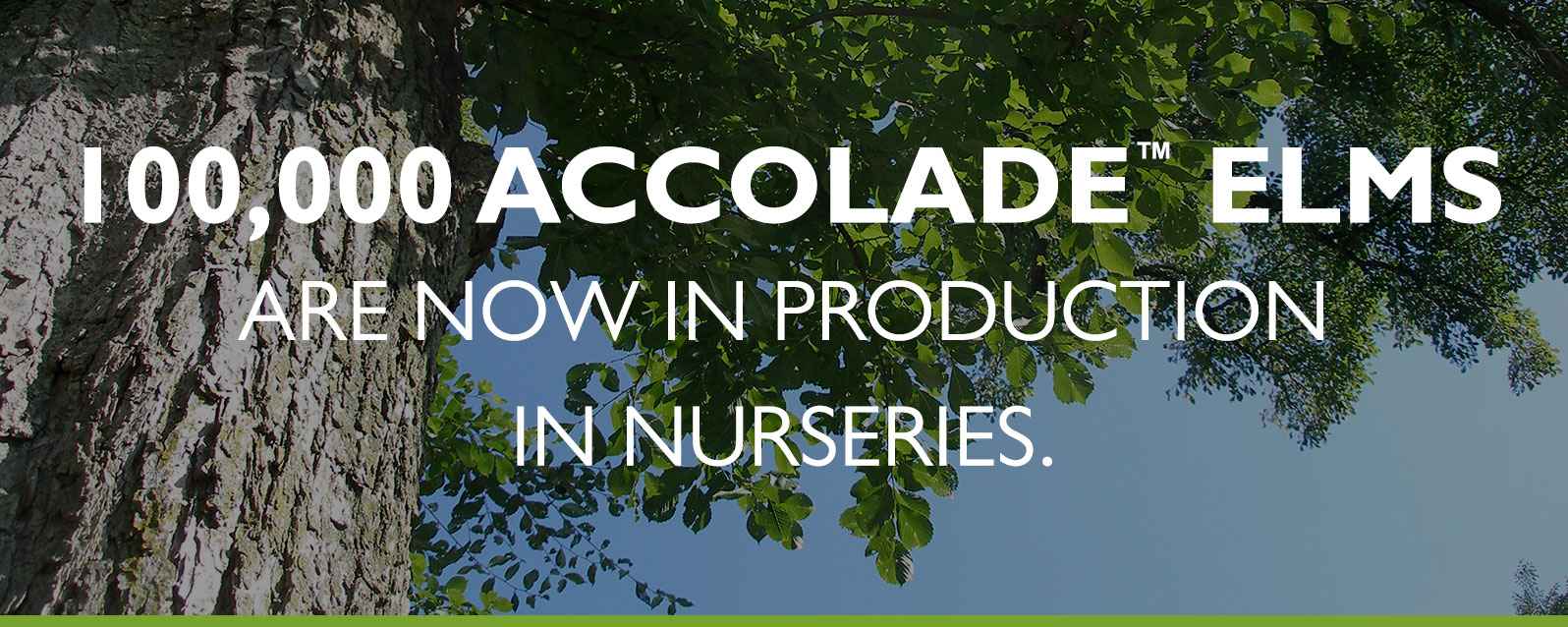 Accolade Elm in production